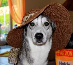 Chikana, chien Husky sibérien