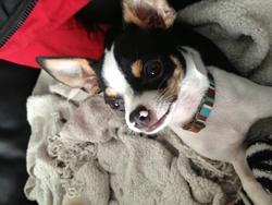 Chiko, chien Chihuahua