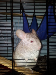 Chilla, rongeur Chinchilla