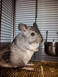 Chilly, rongeur Chinchilla