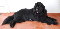 Chilperic, chien Terre-Neuve