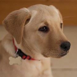 Chily, chien Labrador Retriever