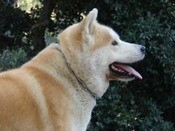 Chima, chien Akita Inu