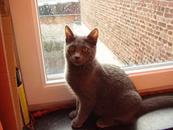 Chimay, chat Chartreux