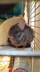 Chimene, rongeur Chinchilla