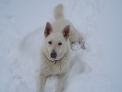 Chimene, chien Berger blanc suisse
