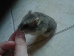 China, rongeur Hamster