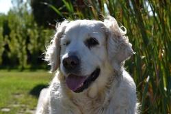 China, chien Golden Retriever