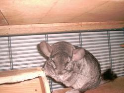 Chinchilla, rongeur