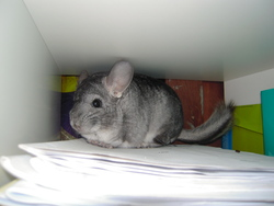 Chinchou, rongeur Chinchilla
