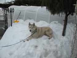Chinook, chien Malamute de l'Alaska