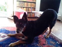Chinook, chien