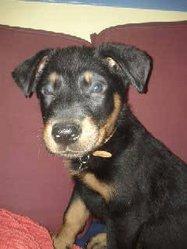 Chiot 1 De Calia Et Elit, chien Beauceron