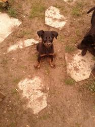 Chiot 2 Calia Et Elit, chien Beauceron