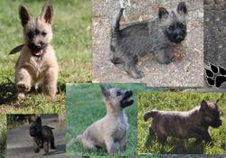 Chiot Cairn Terrier, chien Cairn Terrier