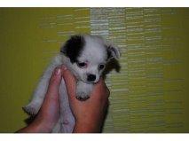Chiot Chihuahua Mal, chien Chihuahua