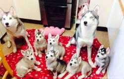Chiots Husky De Sibérie, chien Husky sibérien