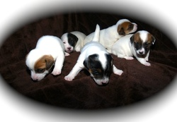 Chiots, chien Jack Russell Terrier