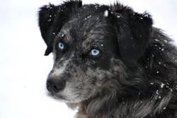 Chip'S, chien Berger australien
