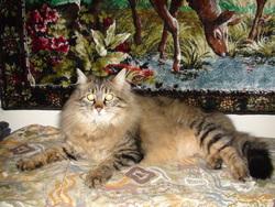 Chipeur, chat Norvégien