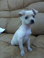 Chipette, chien Pinscher
