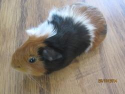 Chipette, rongeur Cochon d'Inde