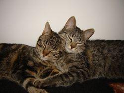 Chipette, chat Gouttière