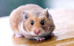 Chipi, rongeur Hamster