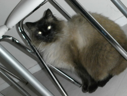 Chipi, chat Siamois