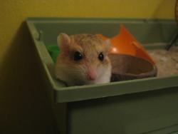 Chipi, rongeur Gerbille