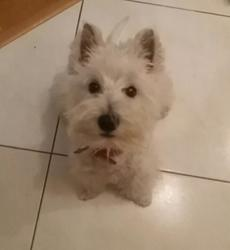 Chipie, chien West Highland White Terrier