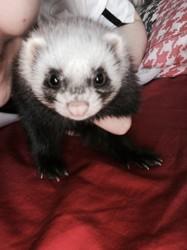 Chipie, rongeur Furet