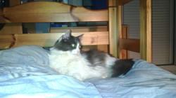 Chipie, chat Norvégien
