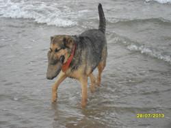 Chipie, chien Berger allemand