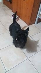 Chipie, chien Scottish Terrier