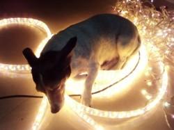 Chipie, chien Jack Russell Terrier