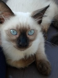Chipie, chaton Siamois