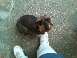 Chipie, chien Teckel