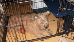 Chipie, chien Cairn Terrier