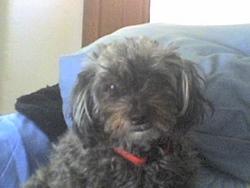 Chipie, chien Caniche
