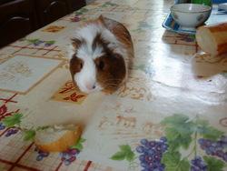 Chipie, rongeur Cochon d'Inde