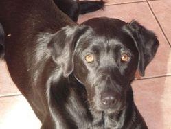 Chipie, chien Labrador Retriever