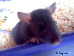 Chipie, rongeur Rat