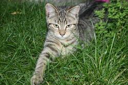Chipie, chat Savannah