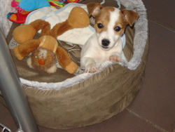 Chipie, chien Jack Russell Terrier