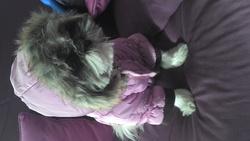 Chipie, chien Shih Tzu