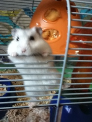 Chipie, rongeur Hamster