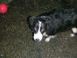 Chipie, chien Border Collie