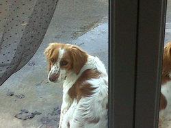Chipie, chien Épagneul breton