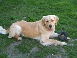 Chipie, chien Golden Retriever